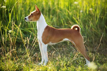pawl: Caccia cane di razza Basenji pena di erba verde Archivio Fotografico