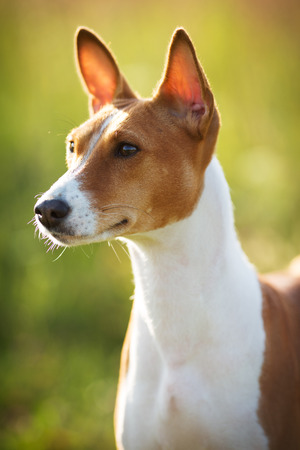 pawl: Little Basenji breed of hunting dog in the field Stock Photo