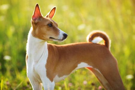 pawl: Breve dai capelli cane da caccia di razza guarda da qualche parte