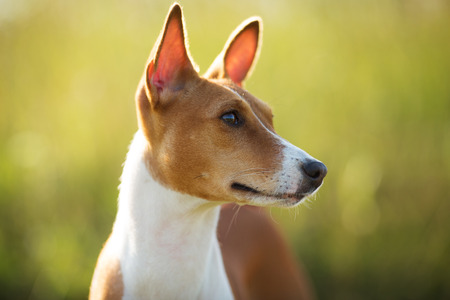 pawl: Fotografato muso primo piano di razza cane rosso Basenji