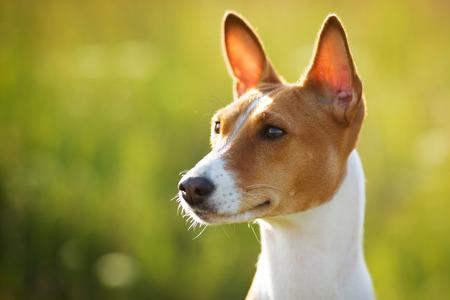 pawl: Cane Castagna-eared guarda fuori nella distanza