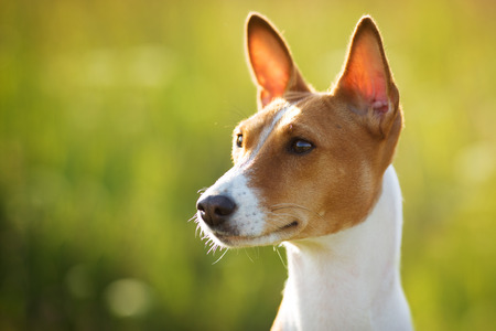 Chestnut-eared dog looks off into the distance