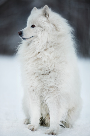 huskies: Big shaggy dog sitting and looking aside