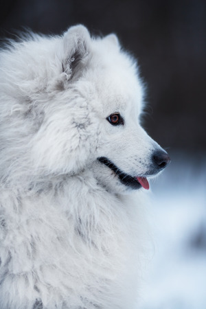 coldly: Close-up of a big white fluffy dog Stock Photo