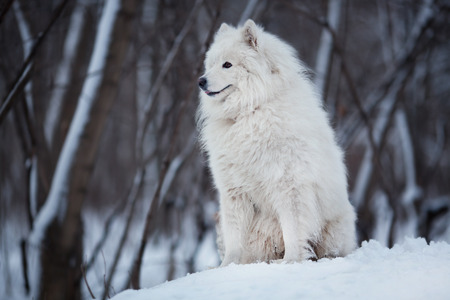 looking ahead: White dog sitting on the snow and looking ahead