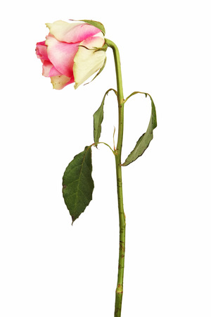faded: Faded pink rose on a dry stalk with leaves Stock Photo