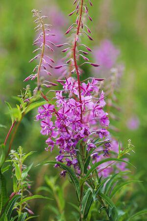 fireweed: Purple fireweed flowers among wildflowers summer