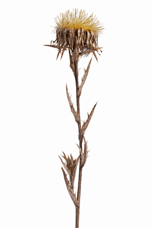 spinous: Dried flower with thorns on a white background
