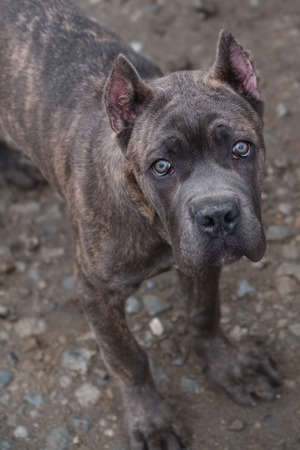 lovelorn: Puppy Cane Corso devotedly looks at the host