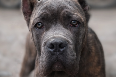 lovelorn: Dog breed Cane Corso looks directly into the camera