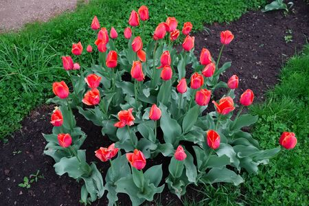 floriculture: Flower bed planted with large red tulips