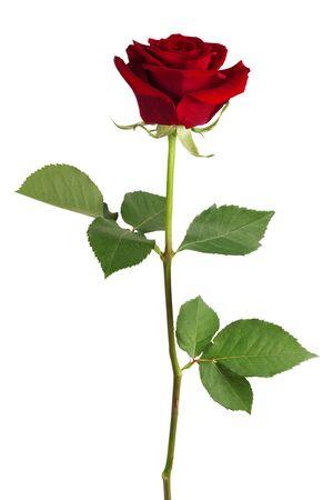 red roses: Fresca rosa roja sobre un fondo blanco Foto de archivo