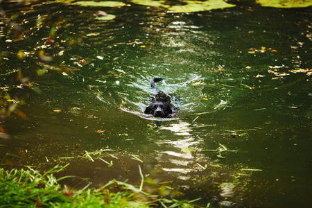 pawl: Adult black labrador swimming in the river