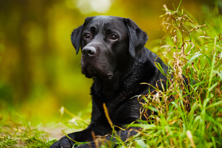 pawl: Black wet labrador looks out over grass