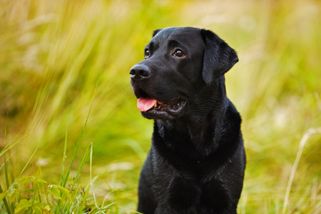pawl: Black labrador on a background of yellow grass