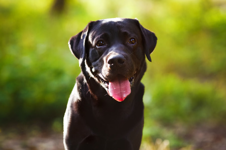 maw: Black labrador retriever sitting and looking at the camera Stock Photo