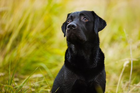 pawl: Black labrador looks guiltily at his master