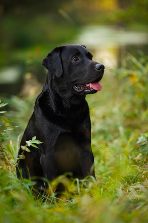pawl: Big black Labrador sitting in the grass Stock Photo