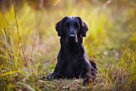 pawl: Black retriever lying in the autumn grass