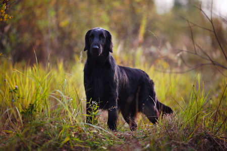 pawl: Adult black retriever stands among autumn grass
