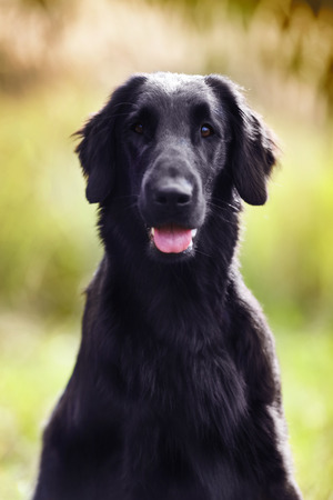 pawl: Black retriever sitting and looking straight into the camera Stock Photo