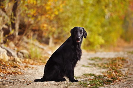 pawl: Black retriever sitting on the background of autumn leaves