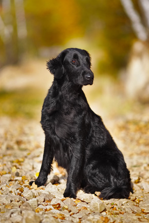 pawl: Black wet retriever sits and looks into the distance