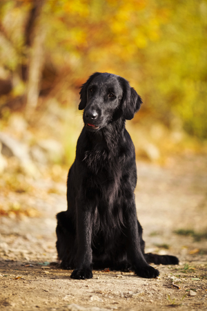 pawl: Shaggy black retriever sitting on the ground
