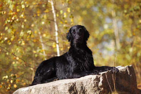 pawl: Black wet retriever lies on a large stone