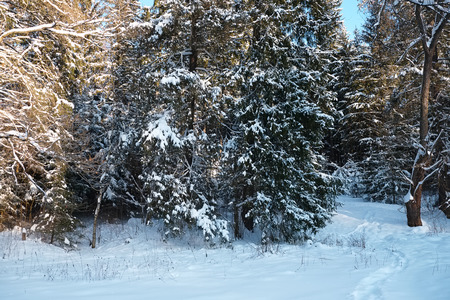 copse: Trees in the forest covered with snow