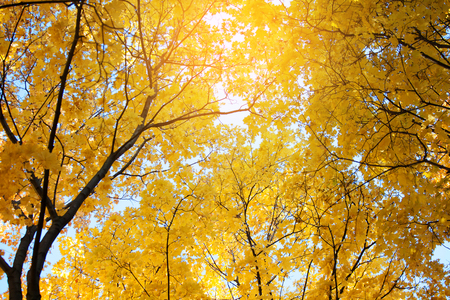 Crowns of trees with yellowed leaves in autumn