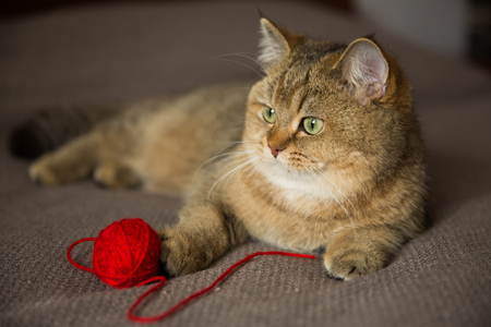 Red-haired purebred cat lies with a red ball of thread Stockfoto