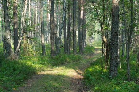 thicket: The forest road leads into the thicket of summer forest
