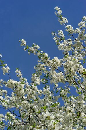 Blooming cherry tree against the blue sky.