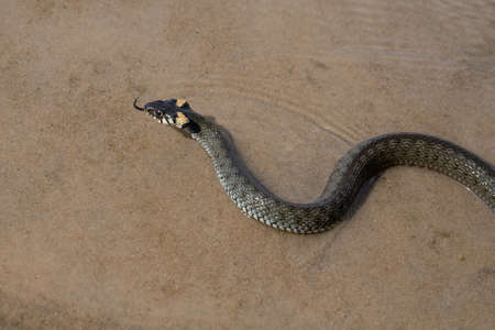 Not a venomous dark green snake (grass-snake), with yellow spots on its head, swims on transparent water. The grass snake (Natrix), sometimes called the ringed snake or water snake