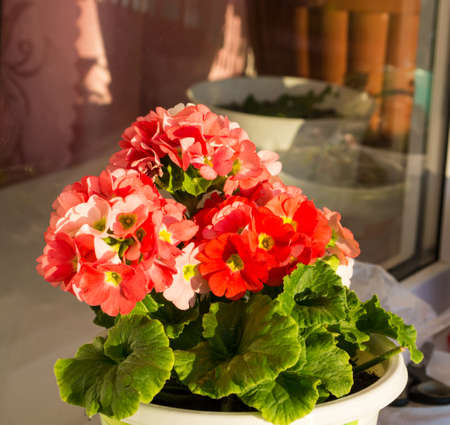rejoices: Shining red geraniums blooming rejoices spring sun Stock Photo