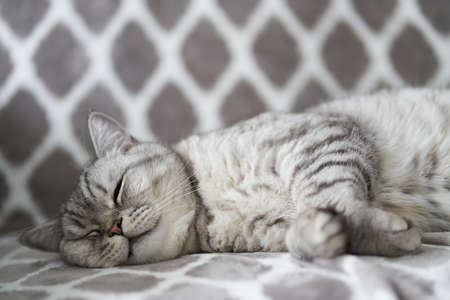 Lazy British Shorthair cat sleeping on a couch in a flat in Poland. The cat is lying and eyes is closed