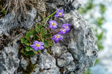 Purple flowers named Ramonda nathaliae grows up from grey rock