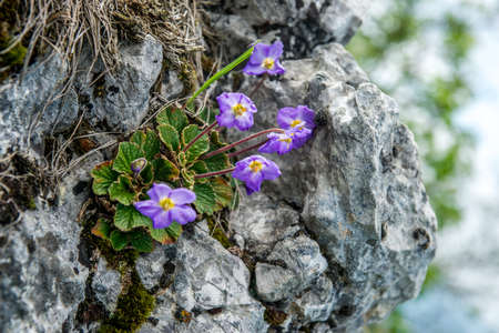 Purple flowers named Ramonda nathaliae grows up from grey rock