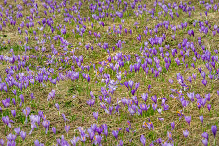 Spring on meadow full of beautiful purple flowers
