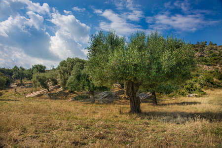 12 o'clock: Old olive trees in greece landscape Stock Photo