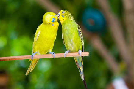 lovebird: Couple of parrots on a branch on a tropical island Stock Photo