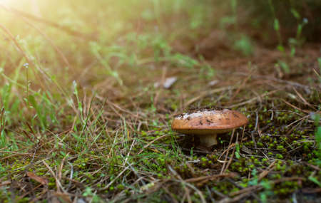 phlegm: The fungus greasers in the green forest. Stock Photo