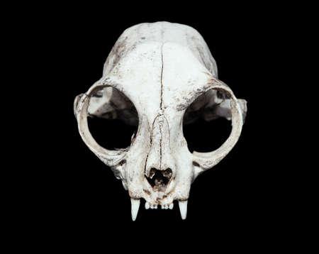crâne d'animal. chat crâne sur un fond noir.