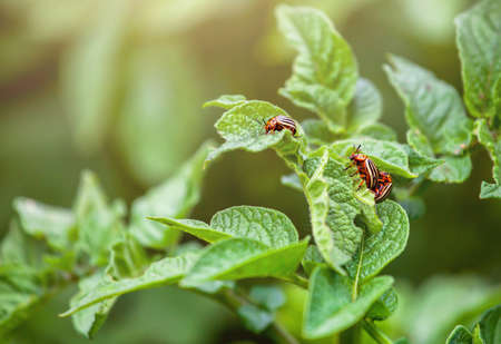 Reproduction of the Colorado potato beetle - Leptinotarsa Decemlineata. Three Colorado beetle sitting on potato leaves.
