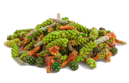 Young pine shoots and cones on a white background.