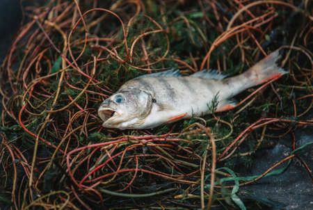 Bloated, dead, poisoned fish lies on the algae on the river bank. Environmental pollution. The impact of toxic emissions in the aquatic environment..