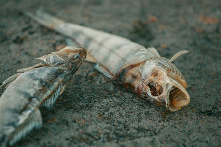 Bloated, dead, poisoned fish lies on the bank of the river. Environmental pollution. The impact of toxic emissions in the aquatic environment.