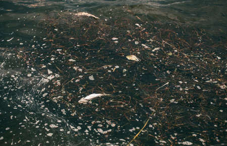poisoned: Bloated, dead, poisoned fish swims near the shore of the river. Environmental pollution. The impact of toxic emissions in the aquatic environment. Stock Photo