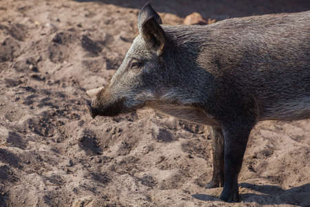 pigsty: The young, dark woolly wild boar walking in a pigsty in the sand. Pig breeding animals. Stock Photo